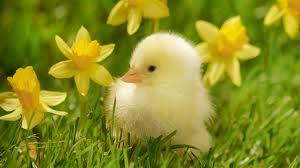 daffs and chick